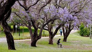 Beside the Jacaranda Tree (photo credit: couriermail.com.au)